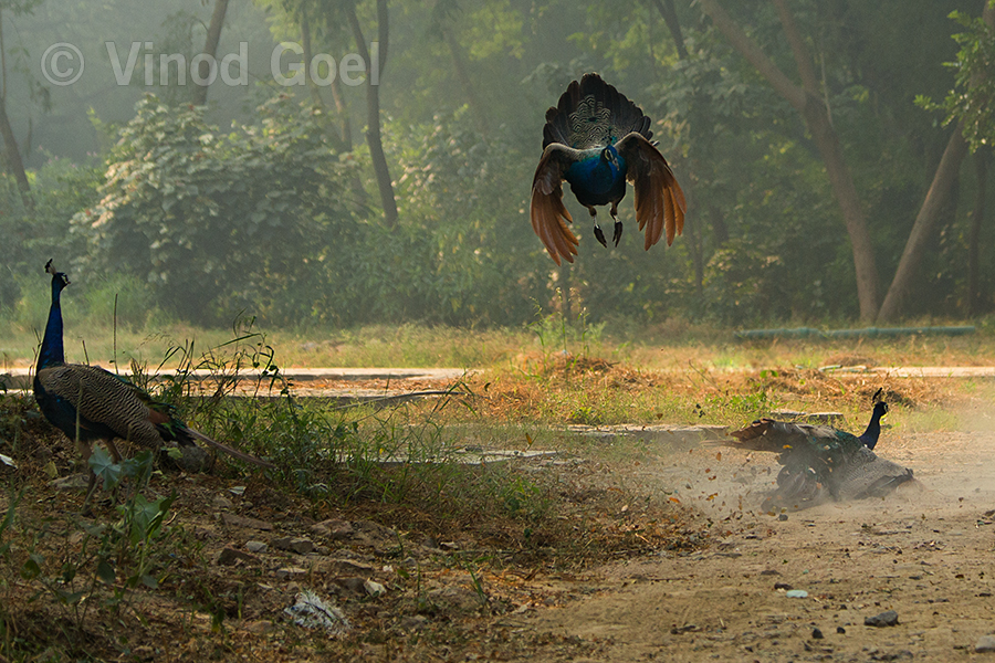 Peacock-Fight-2
