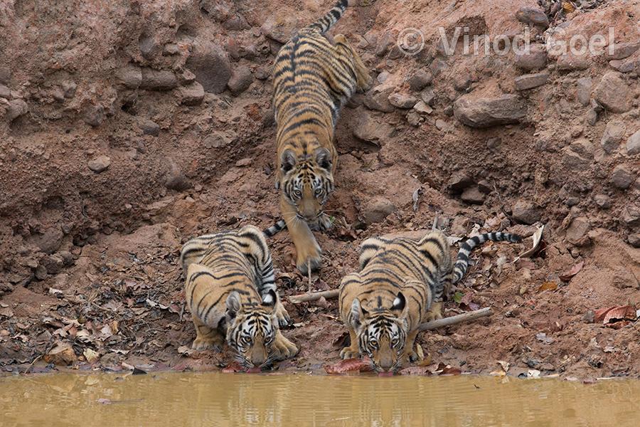 tiger-cubs 1